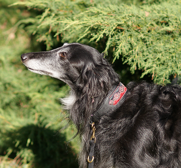 Bayaana - photo gallery - Silken Windhound Antek