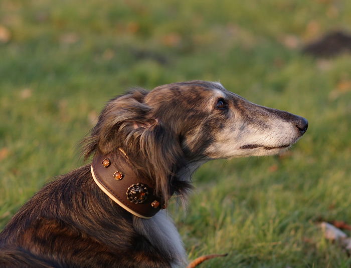 Bayaana Photo Gallery - Silken Windhound Aponi